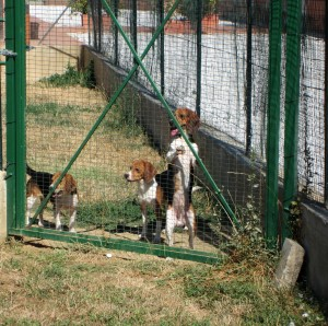 I beagle di Green Hill