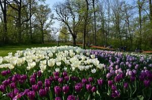 XVI Messer Tulipano