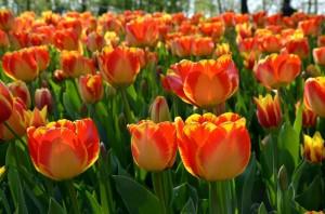 Messer Tulipano a Pralormo