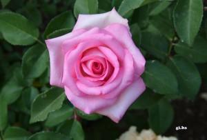 Una rosa in testa