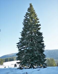 L'albero di Natale per il Vaticano