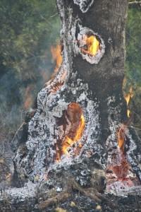 Xylella – Brucia il Salento